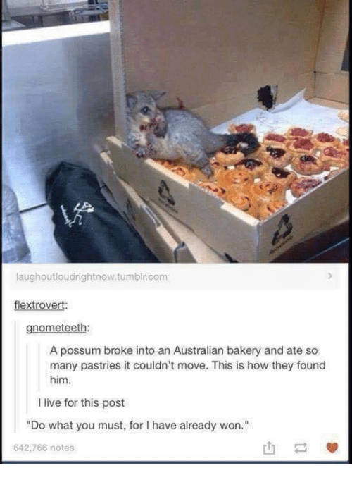 "Tumblr, Live, and Possum: laughoutloudrightnow.tumblr.com  flextrovert:  gnometeeth:  A possum broke into an Australian bakery and ate so  many pastries it couldn't move. This is how they found  him  I live for this post  ""Do what you must, for I have already won.""  642,766 notes"