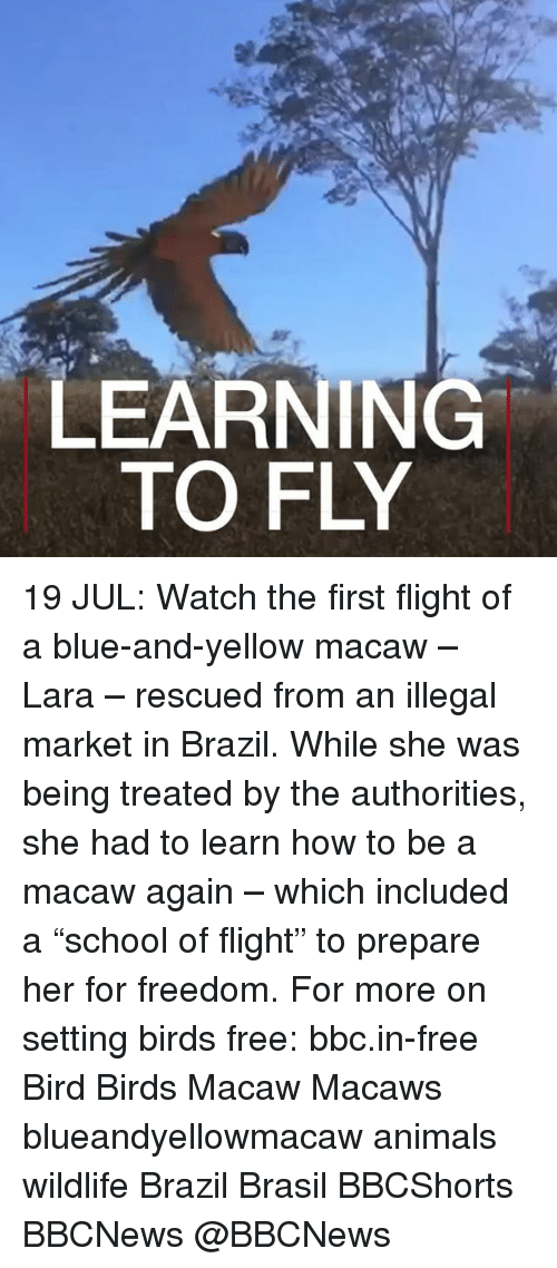 "Animals, Memes, and Birds: LEARNING  TO FLY 19 JUL: Watch the first flight of a blue-and-yellow macaw – Lara – rescued from an illegal market in Brazil. While she was being treated by the authorities, she had to learn how to be a macaw again – which included a ""school of flight"" to prepare her for freedom. For more on setting birds free: bbc.in-free Bird Birds Macaw Macaws blueandyellowmacaw animals wildlife Brazil Brasil BBCShorts BBCNews @BBCNews"