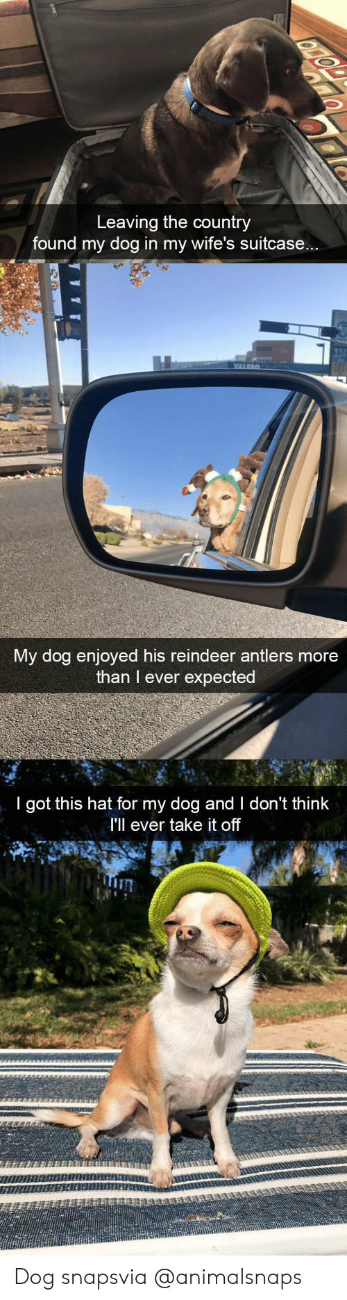take it off: Leaving the country  found my dog in my wife's suitcase...   My dog enjoyed his reindeer antlers more  than I ever expected   I got this hat for my dog and I don't think  I'll ever take it off  Tin Dog snapsvia @animalsnaps