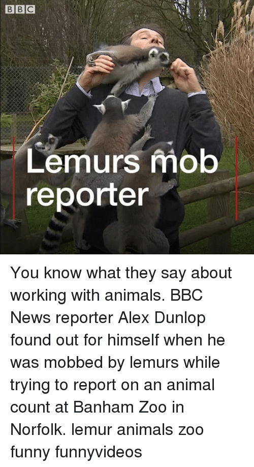 Animals, Funny, and Memes: Lemurs mob  reporter You know what they say about working with animals. BBC News reporter Alex Dunlop found out for himself when he was mobbed by lemurs while trying to report on an animal count at Banham Zoo in Norfolk. lemur animals zoo funny funnyvideos