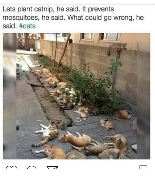 Catnip Cat Meme