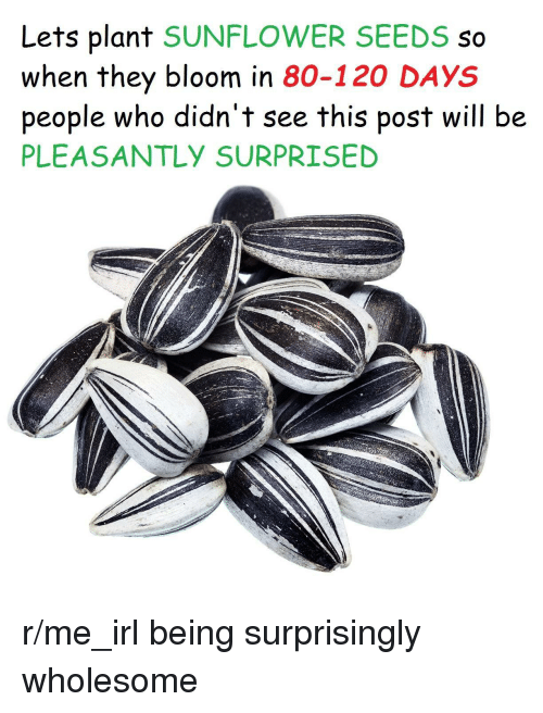 Wholesome, Irl, and Me IRL: Lets plant SUNFLOWER SEEDS so  when they bloom in 80-120 DAYS  people who didn't see this post will be  PLEASANTLY SURPRISED <p>r/me_irl being surprisingly wholesome</p>