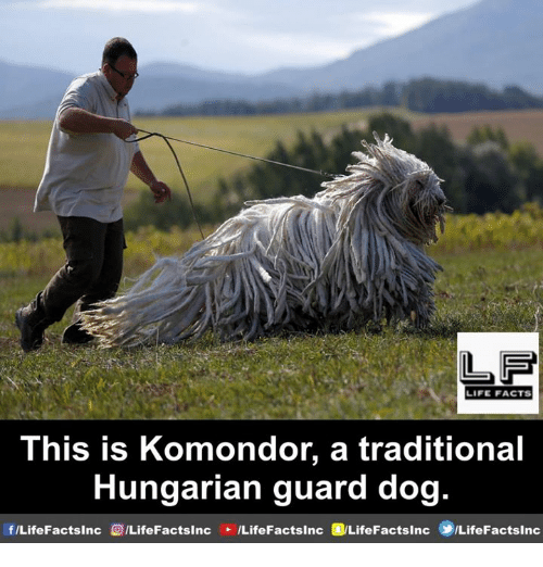 Facts, Life, and Memes: LF  LIFE FACTS  This is Komondor, a traditional  Hungarian guard dog.  f/LifeFactsinc  (0/LifeFactsInc  /LifeFactsInc  @LifeFacts!nc  ⑩/LifeFacts!nc