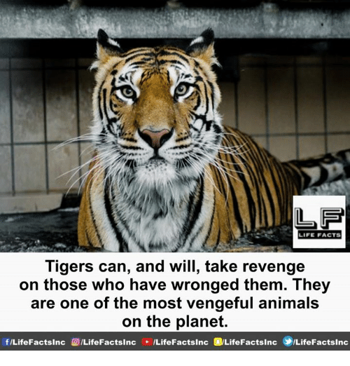 Animals, Facts, and Life: LF  LIFE FACTS  Tigers can, and will, take revenge  on those who have wronged them. They  are one of the most vengeful animals  on the planet.
