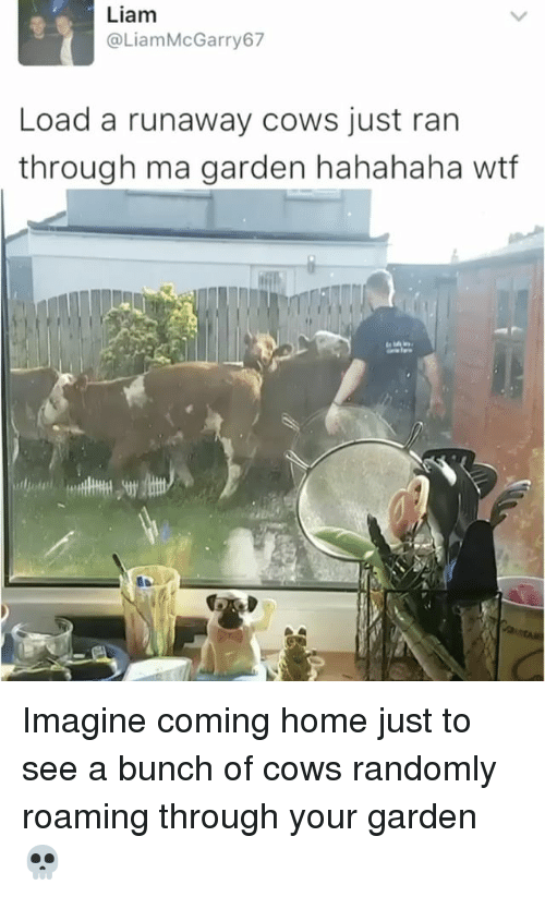 runaways: Liam  @Liam McGarry 67  Load a runaway cows just ran  through ma garden hahahaha wtf Imagine coming home just to see a bunch of cows randomly roaming through your garden 💀