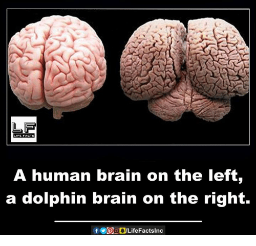 Dolphin: LIFE FACTS  A human brain on the left,  a dolphin brain on the right.