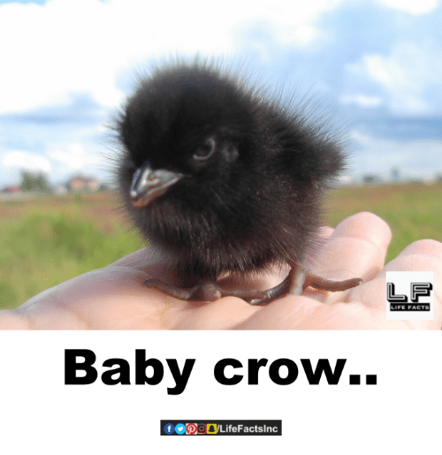 Facts, Life, and Memes: LIFE FACTS  Baby crow  @_DLifeFactsInc