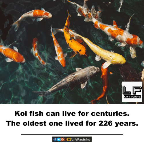 25 best memes about koi fish koi fish memes for Koi fish value