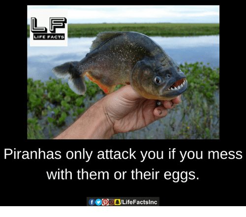 mess: LIFE FACTS  Piranhas only attack you if you mess  with them or their eggs.