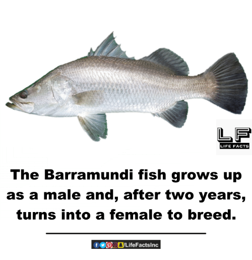 Memes, 🤖, and Barramundi: LIFE FACTS  The Barramundi fish grows up  as a male and, after two years,  turns into a female to breed.