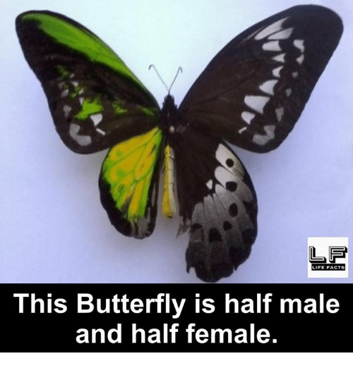 Facts, Life, and Memes: LIFE FACTS  This Butterfly is half male  and half female.