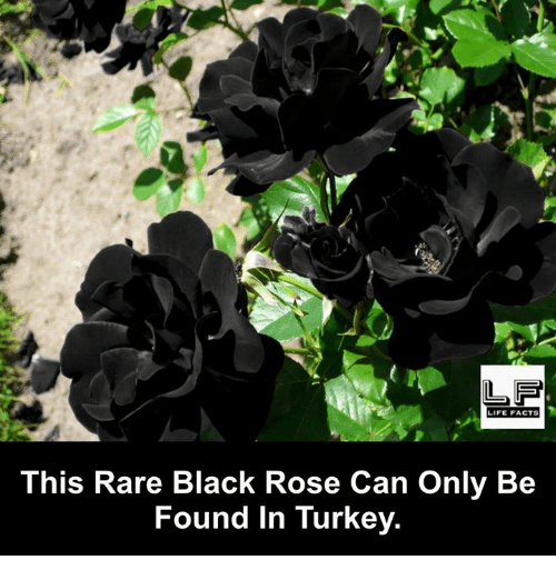 Facts, Life, and Memes: LIFE FACTS  This Rare Black Rose Can Only Be  Found in Turkey