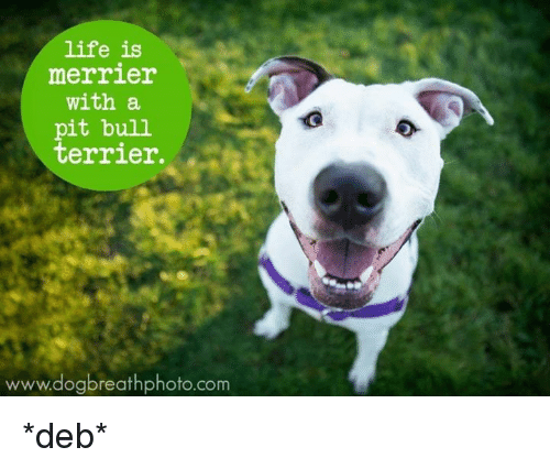 Life Is Merrier With a Pit Bull Terrier ...