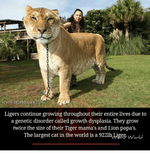 ligers: Ligers continue growing throughout their entire lives due to  a genetic disorder called growth dysplasia. They grow  twice the size of their Tiger mama's and Lion papa's.  The largest cat in the world is a 9221b Liger. A