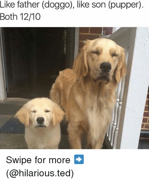 Funny, Ted, and Hilarious: Like father (doggo), like son (pupper).  Both 12/10 Swipe for more ➡ (@hilarious.ted)