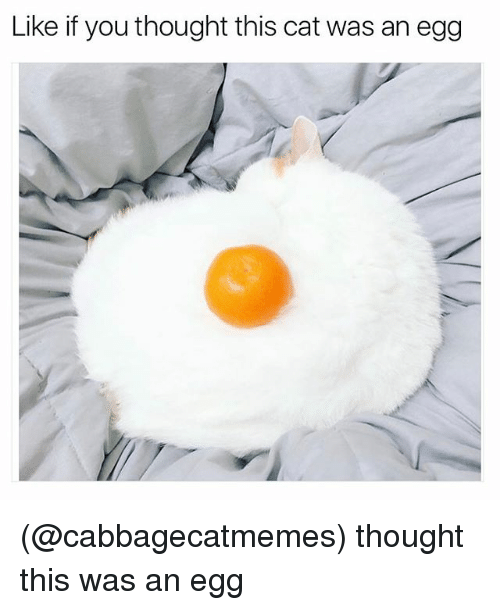 Funny, Meme, and Egg: Like if youthought this cat was an egg (@cabbagecatmemes) thought this was an egg