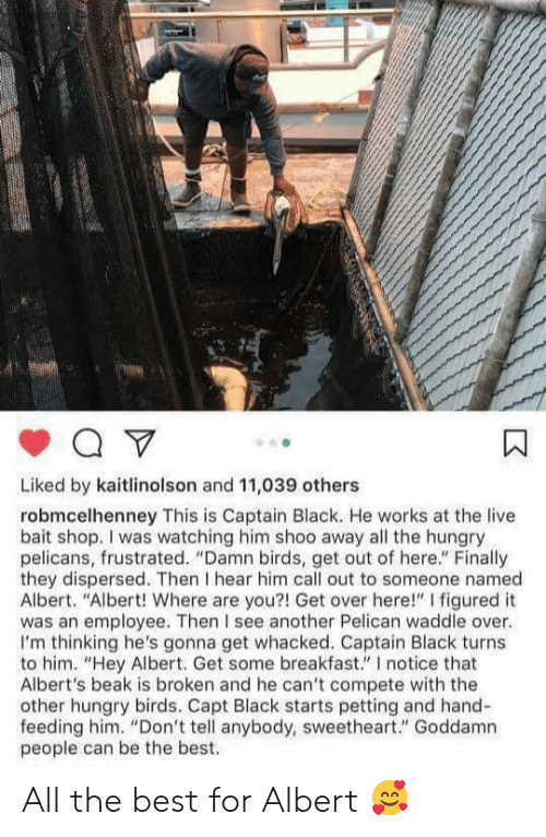 "out-of-here: Liked by kaitlinolson and 11,039 others  robmcelhenney This is Captain Black. He works at the live  bait shop. I was watching him shoo away all the hungry  pelicans, frustrated. ""Damn birds, get out of here."" Finally  they dispersed. Then I hear him call out to someone named  Albert. ""Albert! Where are you?! Get over here!"" I figured it  was an employee. Then I see another Pelican waddle over.  I'm thinking he's gonna get whacked. Captain Black turns  to him. ""Hey Albert. Get some breakfast."" I notice that  Albert's beak is broken and he can't compete with the  other hungry birds. Capt Black starts petting and hand-  feeding him. ""Don't tell anybody, sweetheart."" Goddamn  people can be the best. All the best for Albert 🥰"