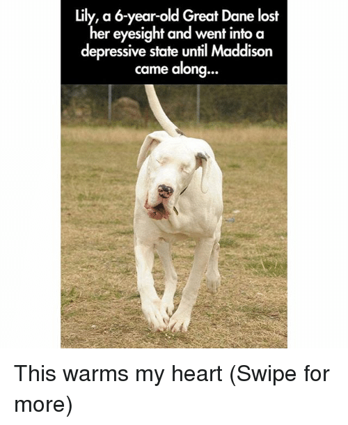 great dane: lily, a 6-year-old Great Dane lost  her eyesight and went into a  depressive state until Maddison  came along  ... This warms my heart (Swipe for more)