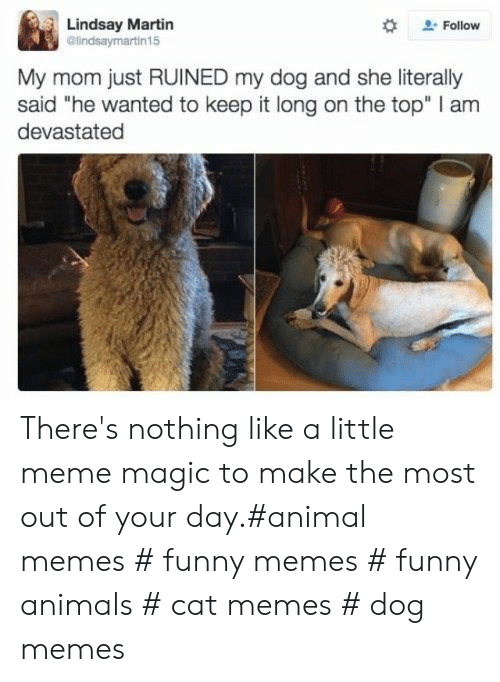 """lindsay: Lindsay Martin  @lindsaymartin15  Follow  My mom just RUINED my dog and she literally  said """"he wanted to keep it long on the top"""" I am  devastated There's nothing like a little meme magic to make the most out of your day.#animal memes # funny memes # funny animals # cat memes # dog memes"""