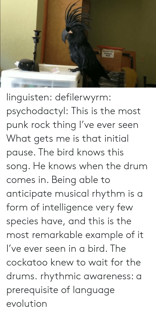 species: linguisten:  defilerwyrm:  psychodactyl: This is the most punk rock thing I've ever seen What gets me is that initial pause. The bird knows this song. He knows when the drum comes in. Being able to anticipate musical rhythm is a form of intelligence very few species have, and this is the most remarkable example of it I've ever seen in a bird. The cockatoo knew to wait for the drums.  rhythmic awareness: a prerequisite of language evolution