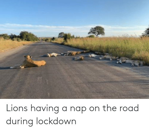 The Road: Lions having a nap on the road during lockdown