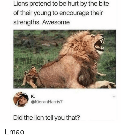 Lmao, Memes, and Lion: Lions pretend to be hurt by the bite  of their young to encourage their  strengths. Awesome  K.  @KieranHarris7  Did the lion tell you that? Lmao