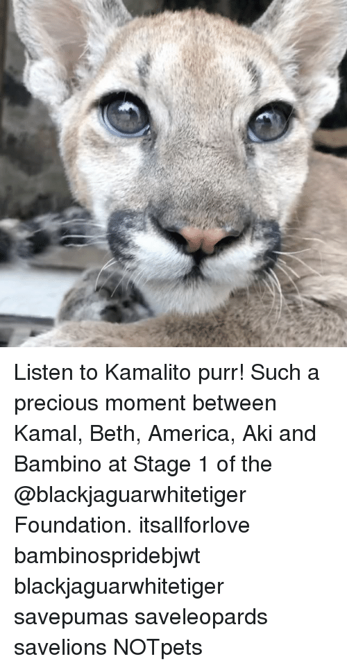 America, Memes, and Precious: Listen to Kamalito purr! Such a precious moment between Kamal, Beth, America, Aki and Bambino at Stage 1 of the @blackjaguarwhitetiger Foundation. itsallforlove bambinospridebjwt blackjaguarwhitetiger savepumas saveleopards savelions NOTpets