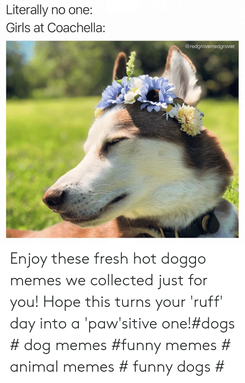 Coachella: Literally no one:  Girls at Coachella:  @redgroverredgrover Enjoy these fresh hot doggo memes we collected just for you! Hope this turns your 'ruff' day into a 'paw'sitive one!#dogs # dog memes #funny memes # animal memes # funny dogs #