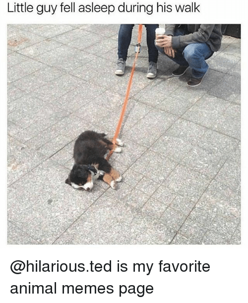 Funny, Memes, and Ted: Little guy fell asleep during his walk @hilarious.ted is my favorite animal memes page