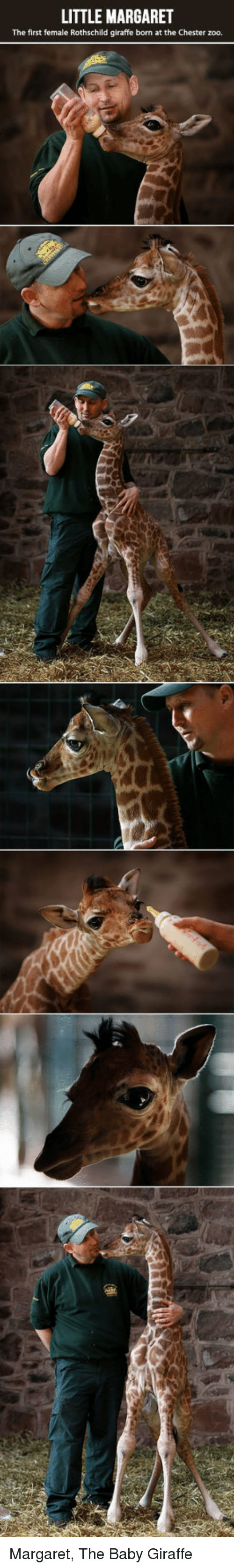 baby giraffe: LITTLE MARGARET  The first female Rothschild giraffe born at the Chester zoo. <p>Margaret, The Baby Giraffe</p>
