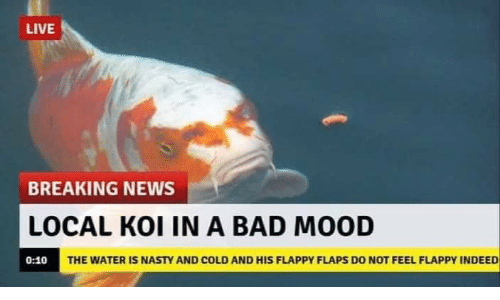 koi: LIVE  BREAKING NEWS  LOCAL KOI IN A BAD MOOD  THE WATER IS NASTY AND COLD AND HIS FLAPPY FLAPS DO NOT FEEL FLAPPY INDEED  0:10
