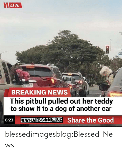 Pitbull: LIVE  BREAKING NEWS  This pitbull pulled out her teddy  to show it to a dog of another car  WHATSGOODJA, Share the Good  6:23 blessedimagesblog:Blessed_News