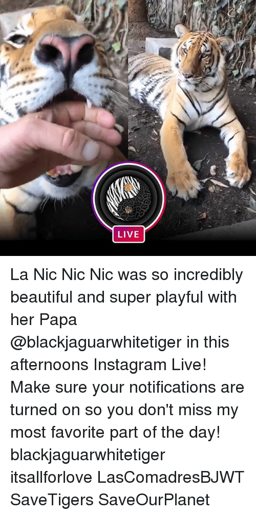 Beautiful, Instagram, and Memes: LIVE La Nic Nic Nic was so incredibly beautiful and super playful with her Papa @blackjaguarwhitetiger in this afternoons Instagram Live! Make sure your notifications are turned on so you don't miss my most favorite part of the day! blackjaguarwhitetiger itsallforlove LasComadresBJWT SaveTigers SaveOurPlanet