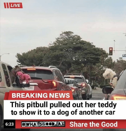 Pitbull: LIVE  wsX6L  BREAKING NEWS  This pitbull pulled out her teddy  to show it to a dog of another car  WHATSGOODJIA, Share the Good  6:23