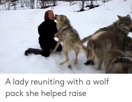 wolf pack: LiveLeak A lady reuniting with a wolf pack she helped raise