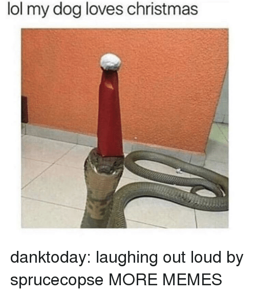 laughing out loud: lol my dog loves christmas danktoday:  laughing out loud by sprucecopse MORE MEMES