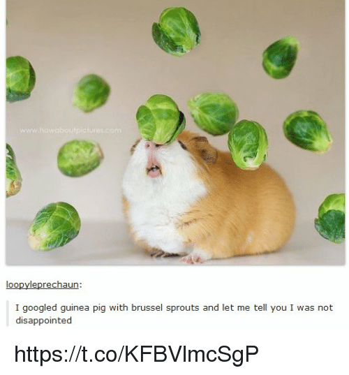brussels sprout: loo  leprechaun:  I googled guinea pig with brussel sprouts and let me tell you I was not  disappointed https://t.co/KFBVlmcSgP