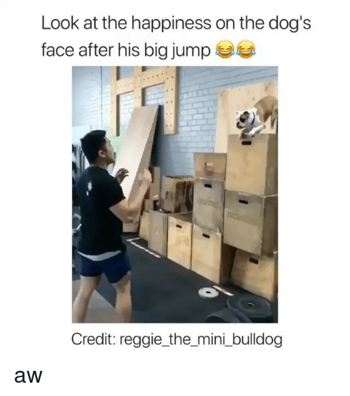 Bulldog: Look at the happiness on the dog's  face after his big jump  Credit: reggie_the_mini _bulldog aw