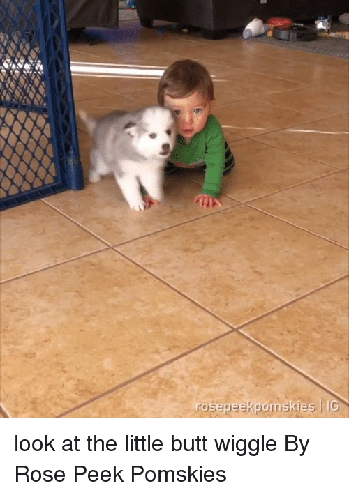 wiggle: look at the little butt wiggle  By Rose Peek Pomskies
