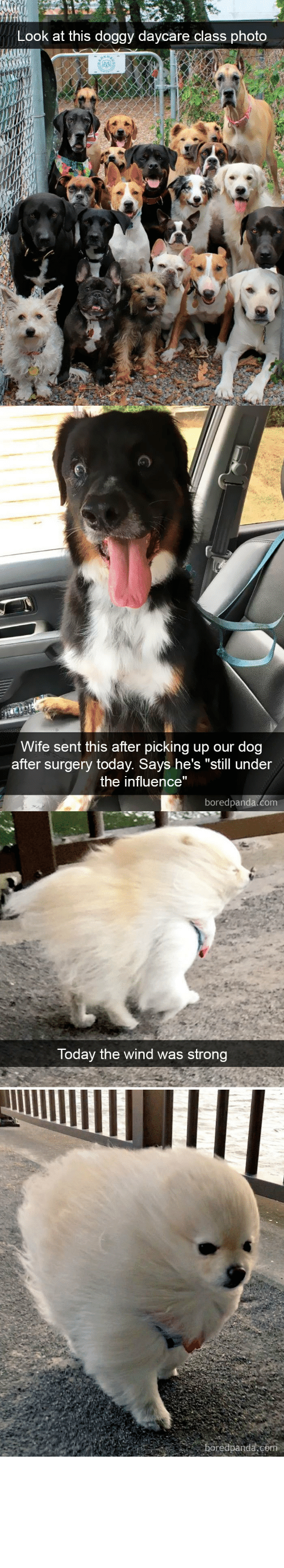 "surgery: Look at this doggy daycare class photo   Wife sent this after picking up our dog  after surgery today. Says he's ""still under  the influence""  boredpanda.com   Today the wind was strong  boredpanda,co babyanimalgifs:  Dog snapsvia boredpanda.com @animalsnaps​"