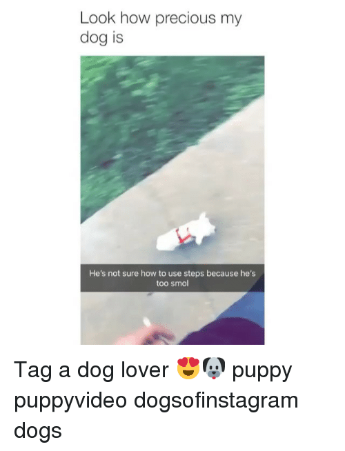 Dogs, Memes, and Precious: Look how precious my  dog is  He's not sure how to use steps because he's  too smol Tag a dog lover 😍🐶 puppy puppyvideo dogsofinstagram dogs