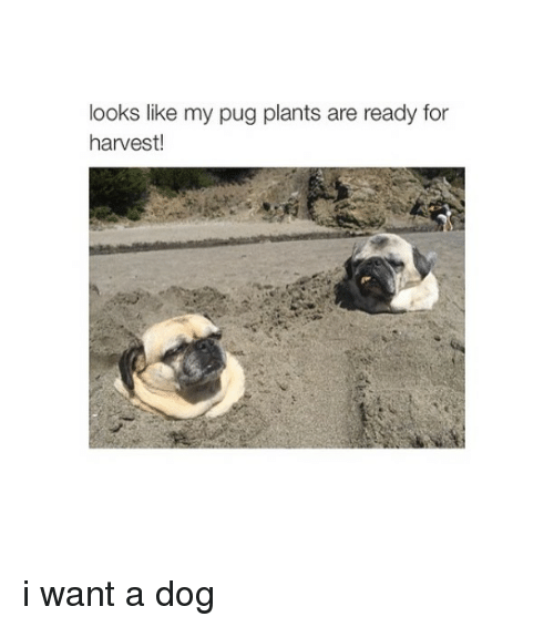 Dogs: looks like my pug plants are ready for  harvest i want a dog