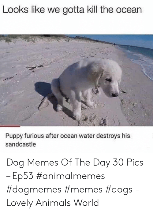 Memes Dogs: Looks like we gotta kill the ocean  Puppy furious after ocean water destroys his  sandcastle Dog Memes Of The Day 30 Pics – Ep53 #animalmemes #dogmemes #memes #dogs - Lovely Animals World