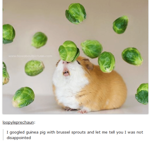 Disappointed: loopy leprechaun:  I googled guinea pig with brussel sprouts and let me tell you I was not  disappointed