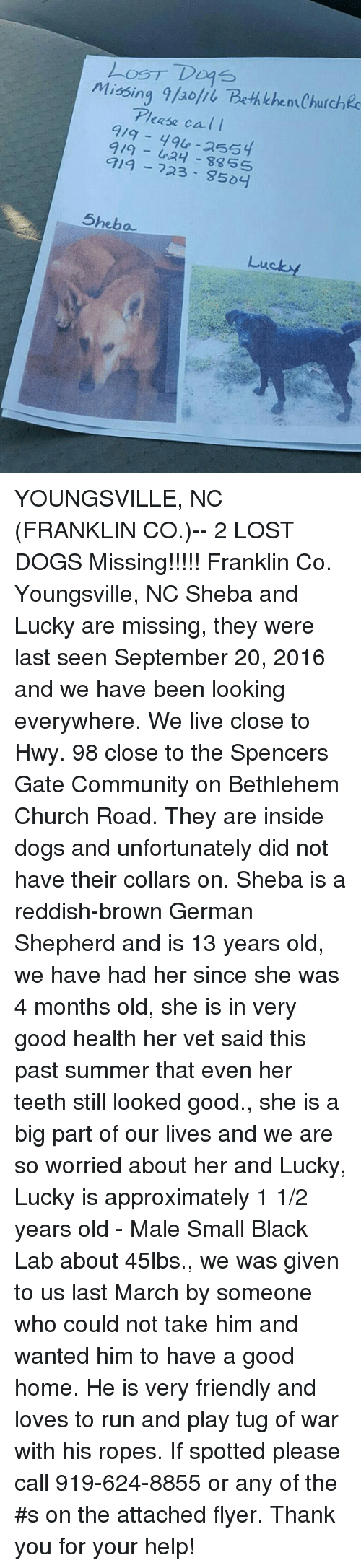 Church, Community, and Friends: Loos T Dogs  Missing 9/aolii Bethlehen Churchec  Please call  que -255  919 719 723 835S  9504  Sheba  Lucky YOUNGSVILLE, NC (FRANKLIN CO.)-- 2 LOST DOGS  Missing!!!!! Franklin Co. Youngsville, NC  Sheba and Lucky are missing, they were last seen September 20, 2016 and we have been looking everywhere. We live close to Hwy. 98 close to the Spencers Gate Community on Bethlehem Church Road. They are inside dogs and unfortunately did not have their collars on. Sheba is a reddish-brown German Shepherd and is 13 years old, we have had her since she was 4 months old, she is in very good health her vet said this past summer that even her teeth still looked good., she is a big part of our lives and we are so worried about her and Lucky, Lucky is approximately 1 1/2 years old - Male Small Black Lab about 45lbs., we was given to us last March by someone who could not take him and wanted him to have a good home. He is very friendly and loves to run and play tug of war with his ropes. If spotted please call 919-624-8855 or any of the #s on the attached flyer. Thank you for your help!