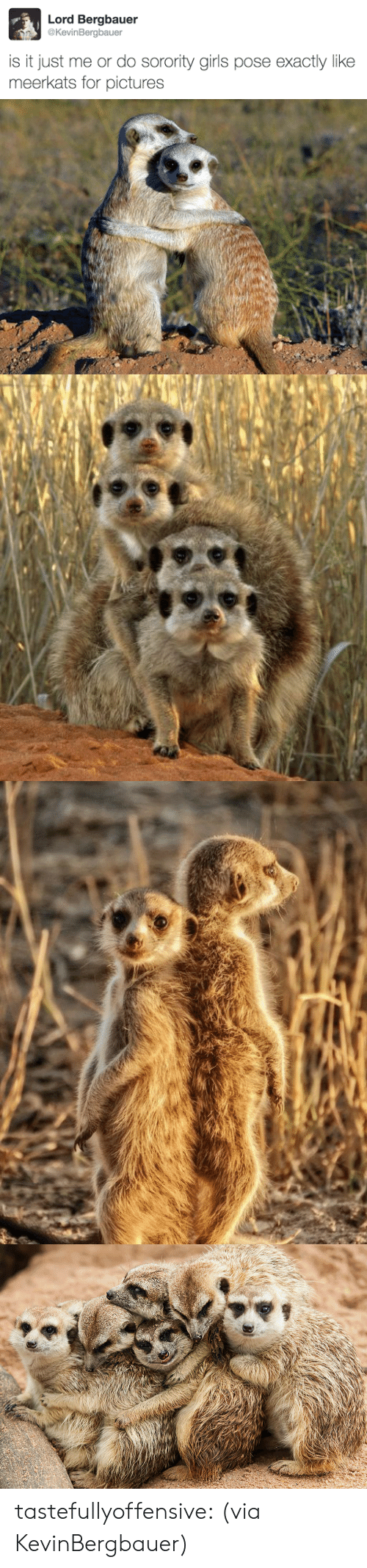 Sorority: Lord Bergbauer  @KevinBergbauer  is it just me or do sorority girls pose exactly like  meerkats for pictures tastefullyoffensive:  (via KevinBergbauer)