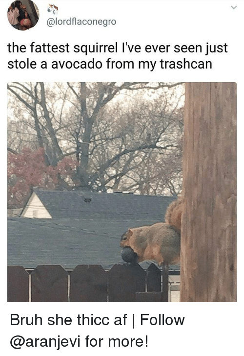 Thicc Af: @lordflaconegro  the fattest squirrel l've ever seen just  stole a avocado from my trashcan Bruh she thicc af   Follow @aranjevi for more!