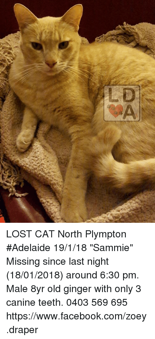 """Facebook, Memes, and Lost: LOST CAT North Plympton #Adelaide 19/1/18 """"Sammie""""  Missing since last night (18/01/2018) around 6:30 pm.  Male 8yr old ginger with only 3 canine teeth.   0403 569 695  https://www.facebook.com/zoey.draper"""