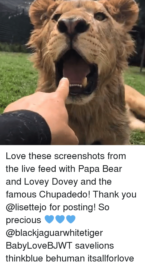 papa bear: Love these screenshots from the live feed with Papa Bear and Lovey Dovey and the famous Chupadedo! Thank you @lisettejo for posting! So precious 💙💙💙 @blackjaguarwhitetiger BabyLoveBJWT savelions thinkblue behuman itsallforlove