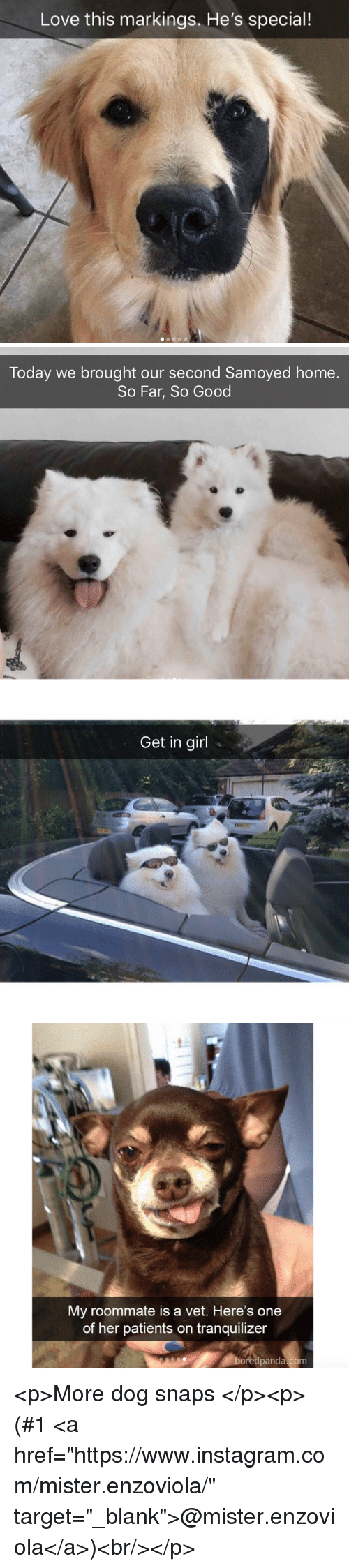 """Instagram, Love, and Roommate: Love this markings. He's special!   Today we brought our second Samoyed home.  So Far, So Good   Get in girl   My roommate is a vet. Here's one  of her patients on tranquilizer  boredpanda.com <p>More dog snaps</p><p>(#1<a href=""""https://www.instagram.com/mister.enzoviola/"""" target=""""_blank"""">@mister.enzoviola</a>)<br/></p>"""